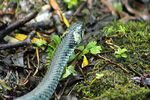 Title: The head of the grass snake