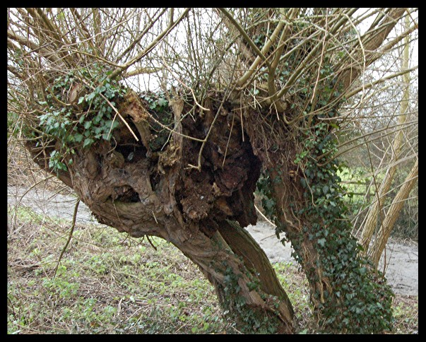 Hollow old tree