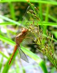 Title: A brown dragonfly