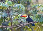 Title: Another toucan in the wild