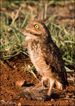 Title: Owl with prey