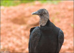 Title: Another vulture