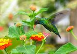 Title: Another hummingbird