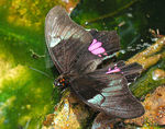 Title: Butterfly laying its eggs