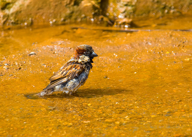 Refreshing sparrow
