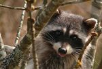 Title: Treed Racoon