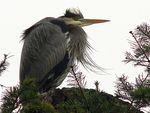 Title: Great Blue Heron