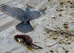 Title: Mink and Crow