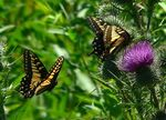 Title: Anise Swallowtails