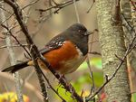 Title: Western Spotted Towhee