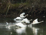 Title: Trumpeter Swans