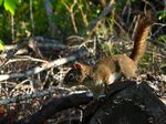 Title: Western Red Squirrel