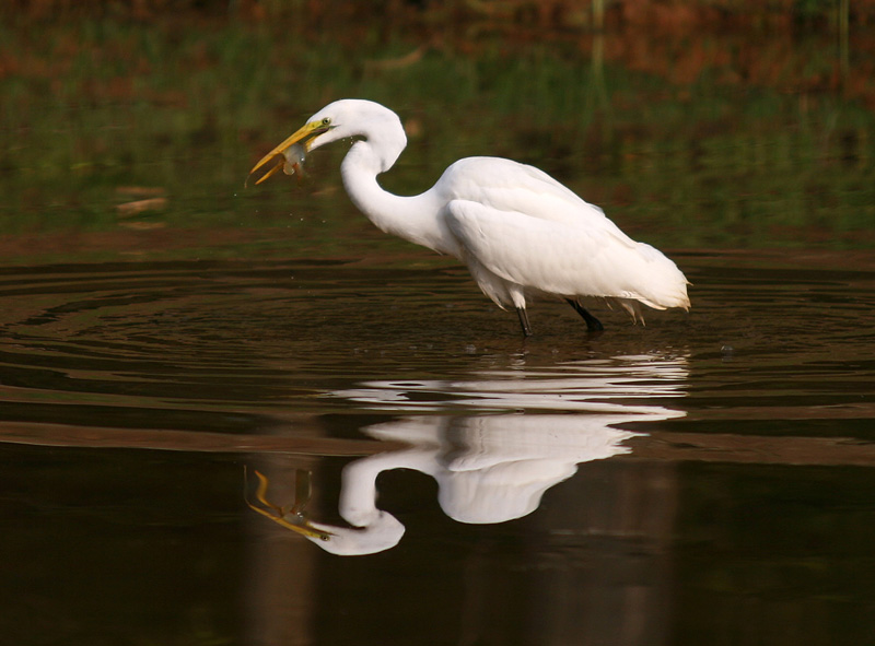 Breakfast with a Great Egret
