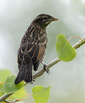 Title: Female Red-winged Blackbird