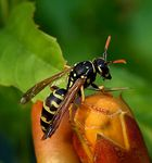 Title: European Paper Wasp