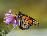 Title: Monarch Butterfly 03Canon 30D