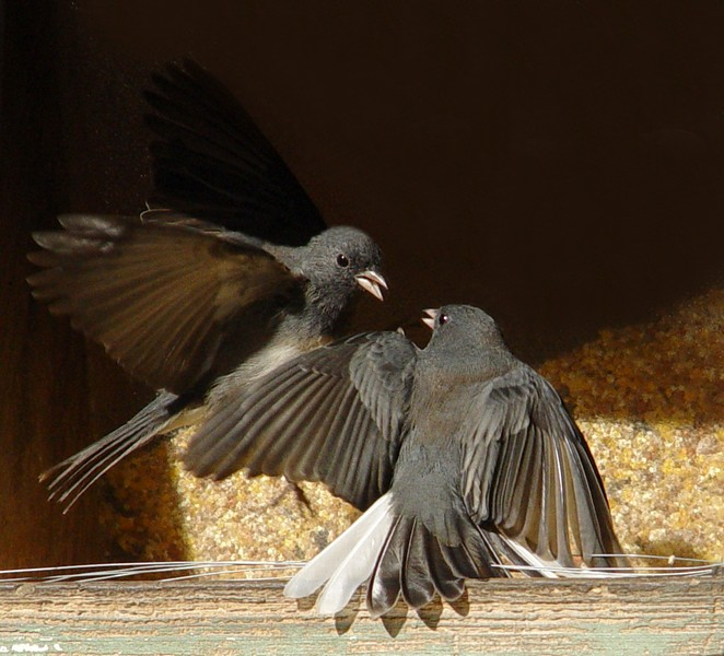 Dance of the Juncos