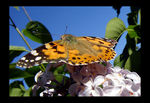 Title: Painted Lady on lilac