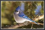 Title: A blue Jay 10