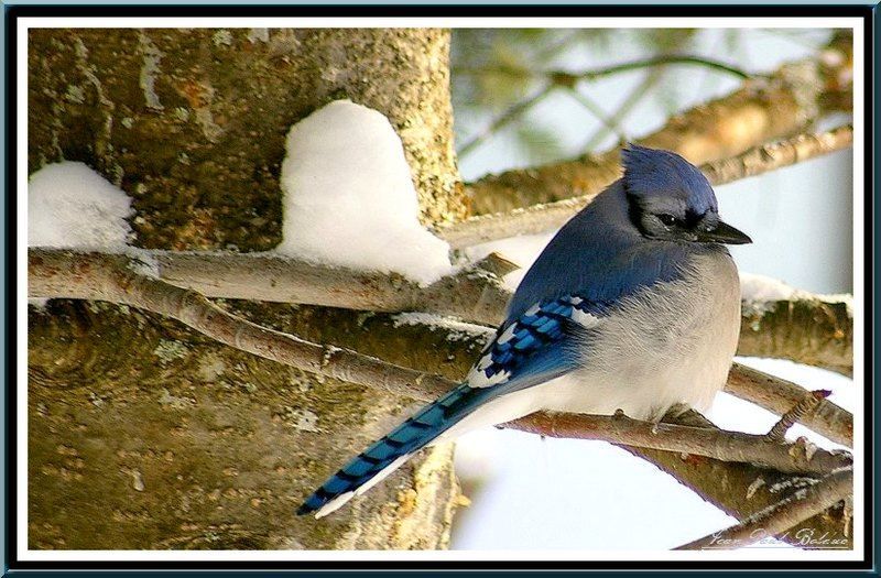 A Blue Jay at rest