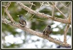 Title: A couple Common Starling