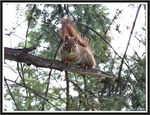 Title: The russet-red squirrel