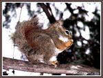 Title: The meal of the Russet-red squirrel