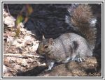 Title: The gray squirrel