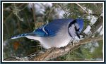 Title: Blue Jay 9