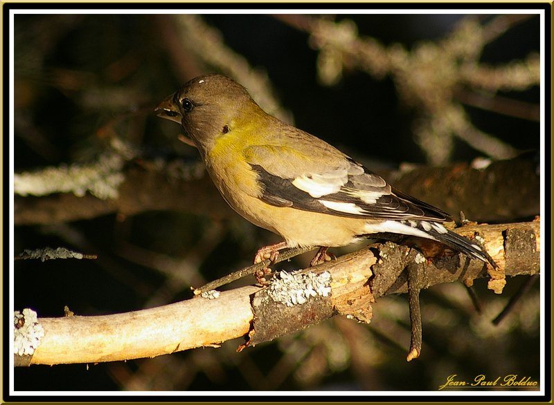 Female Evening Grosbeak 9