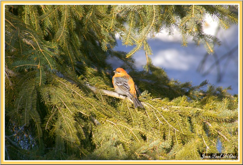 Pine Grosbeak