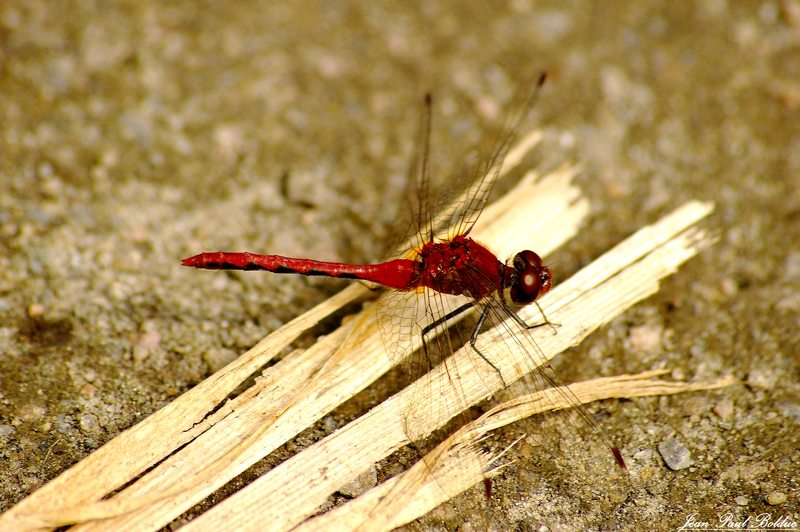 Ruddy darter Dragonfly /2