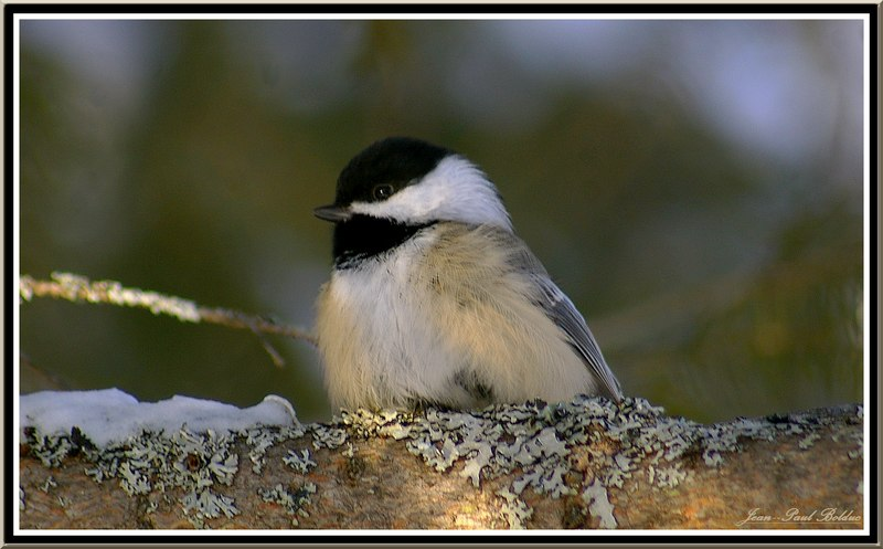 Blackcapped Chickadee at rest