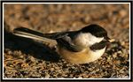Title: Black-capped Chickadee at workPentax *ist D