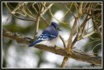 Title: the blue jay