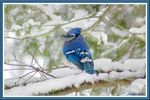 Title: A blue jay under snow