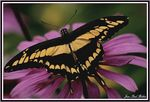 Title: Giant Swallowtail