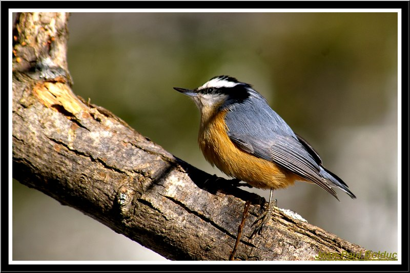 My little Red-breasted Nuthatch