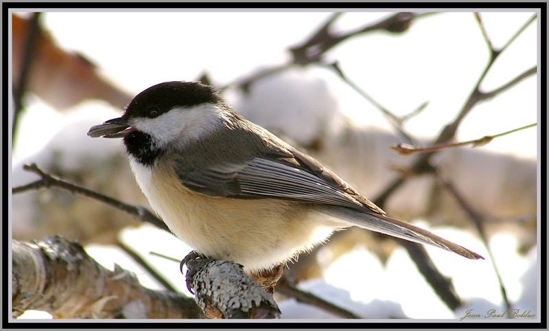 Chickadee with his meal