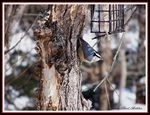 Title: Red Breasted Nuthatch