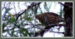 Title: Spruce Grouse female