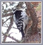 Title: The hairy woodpecker