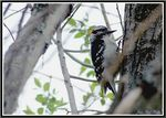 Title: Downy Woodpecker