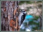 Title: Downy Woodpecker male