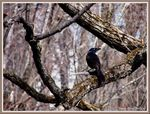 Title: Common Grackle