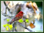 Title: Purple Finch male