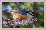 Title: The Red-breasted Nuthatch