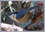 Title: The Red breasted nuthatch