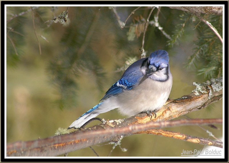 One of my blue jay
