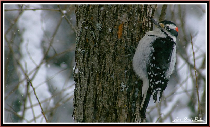 A woodpecker look at the snow falling